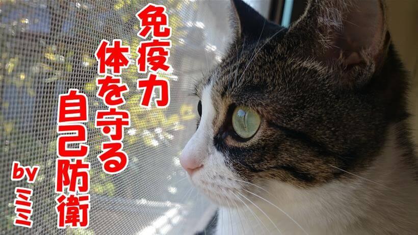 免疫力、体を守る、自己防衛と俳句を詠んでいる体の愛猫ミミ