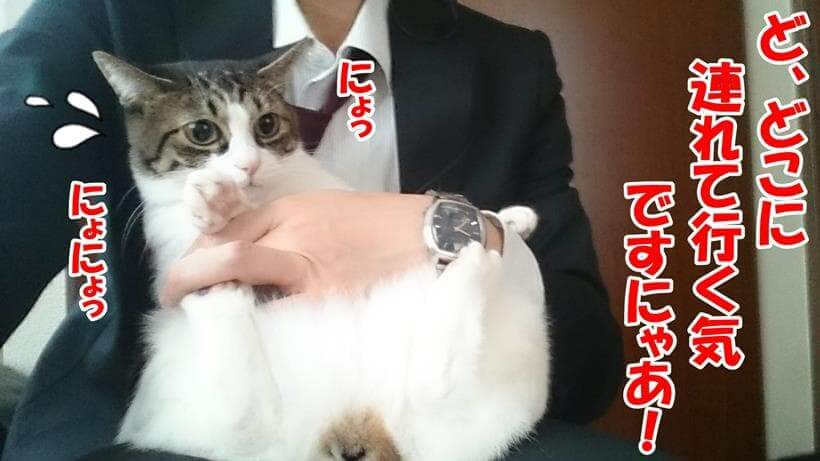 抱きかかえられて何処かに連れて行かれると嫌がっている体の愛猫ミミ