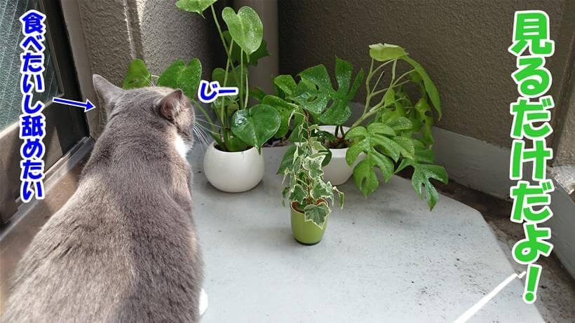 観葉植物に付いた水滴を舐めようとするので注意されている愛猫モコ