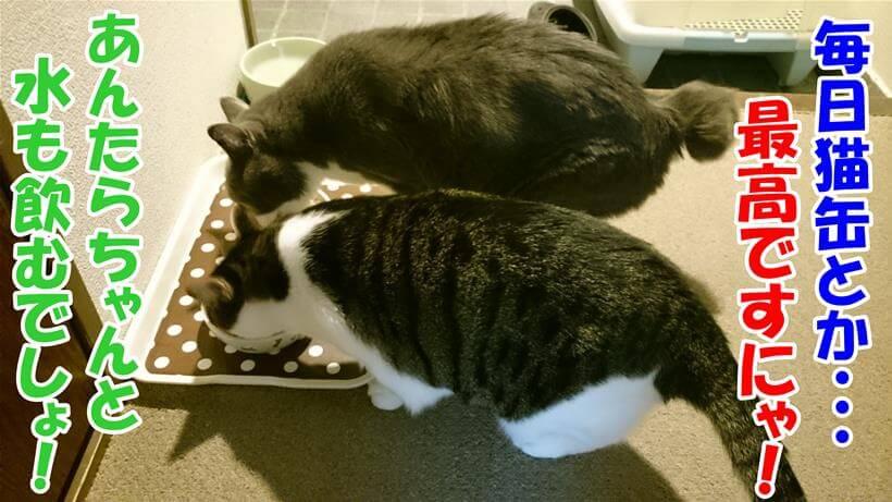 水分補給にウェットフードが良いと知った体で食事する愛猫たち