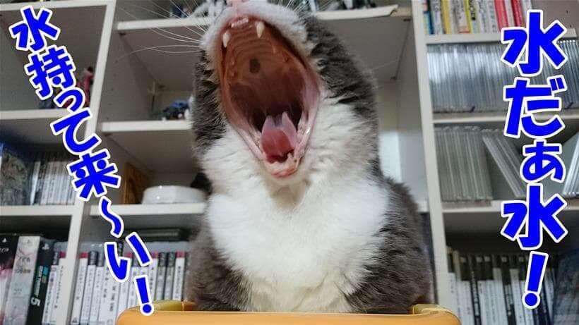 水を持って来いと叫んでいる体の愛猫モコ