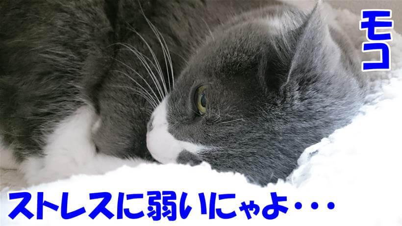 ストレスに弱い愛猫モコ