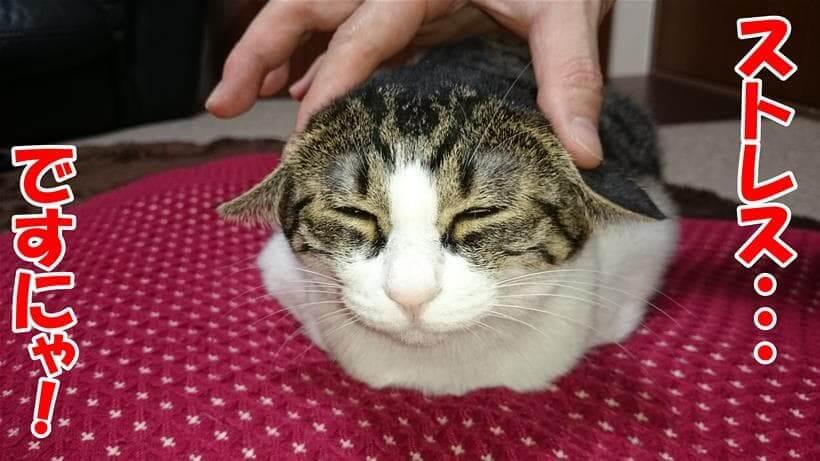 ストレスを感じている体の愛猫ミミ
