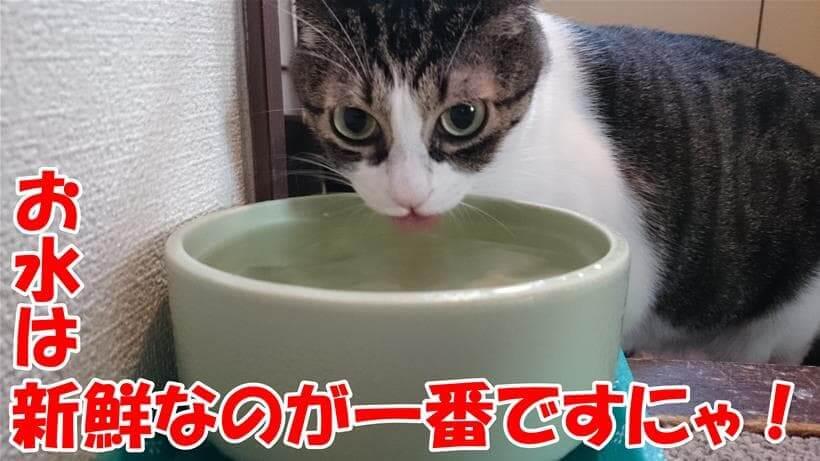 水を飲んでいる愛猫ミミ