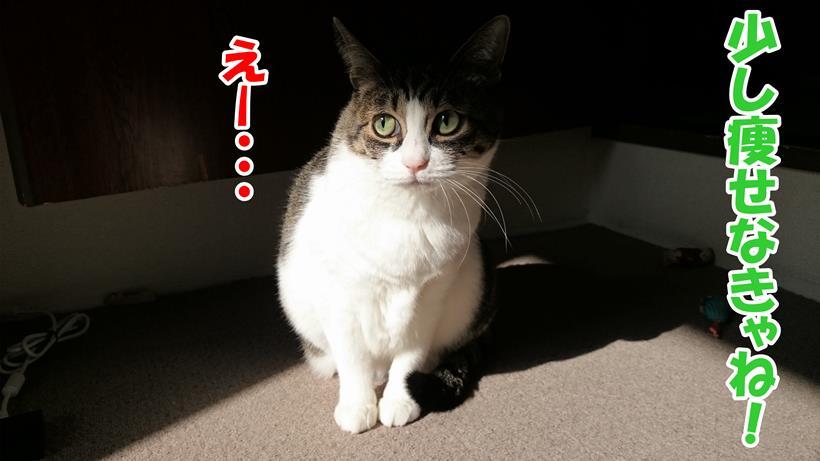 痩せなきゃねって言われて目を反らす体の愛猫ミミ