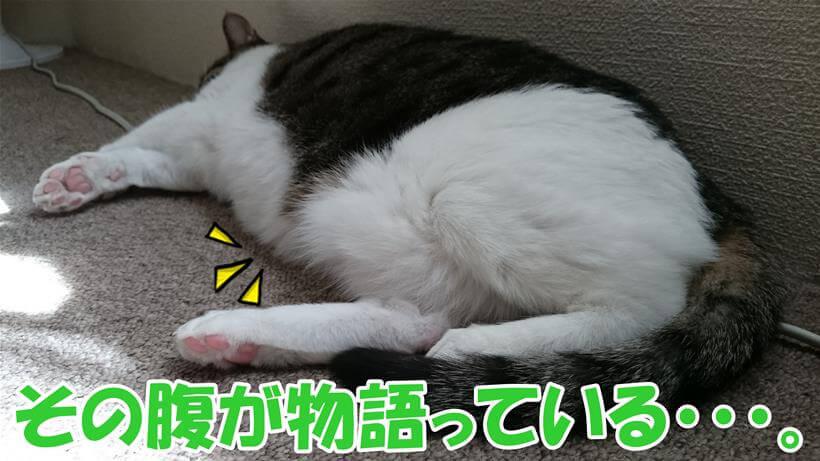 お腹パンパンの肥満気味な愛猫ミミ