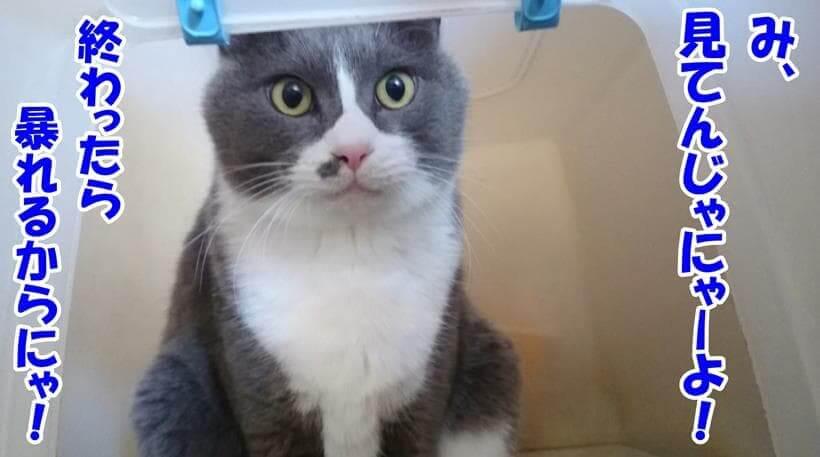 トイレに入っている愛猫モコ