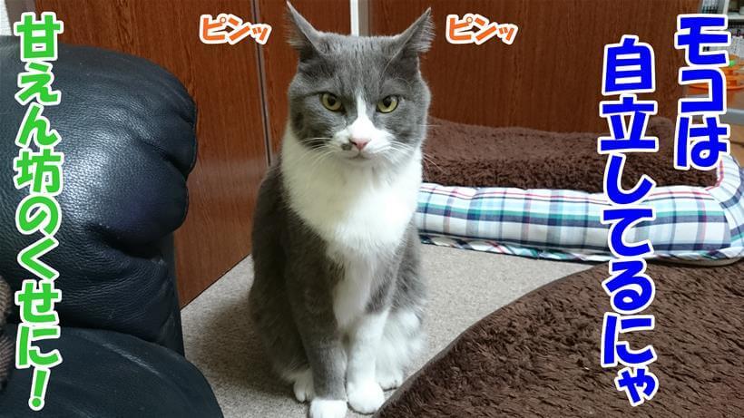 耳を立てて自立していると主張している体の愛猫モコ