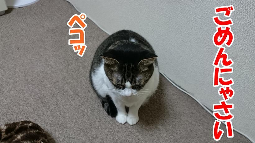 謝っている体の愛猫ミミ