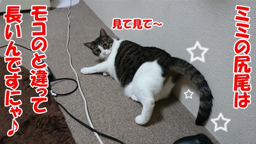 自分の尻尾はモコの尻尾より長いと自慢している愛猫ミミ