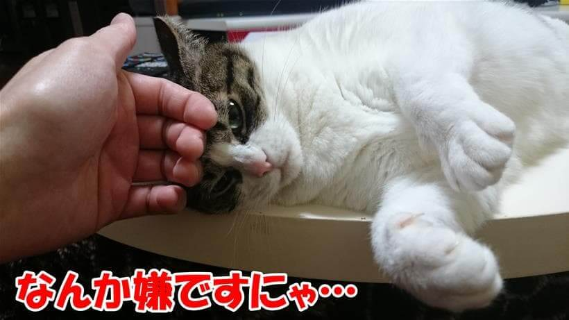 嫌な撫でられ方をして気分を害している体の愛猫ミミ