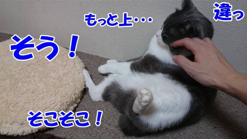 痒いところを指示して撫でて貰っている体の愛猫モコ