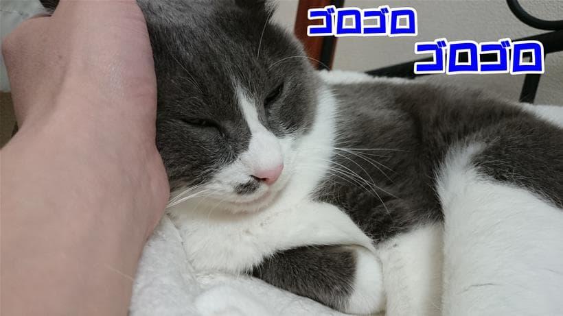 耳を撫でて貰ってゴロゴロ言っている愛猫モコ