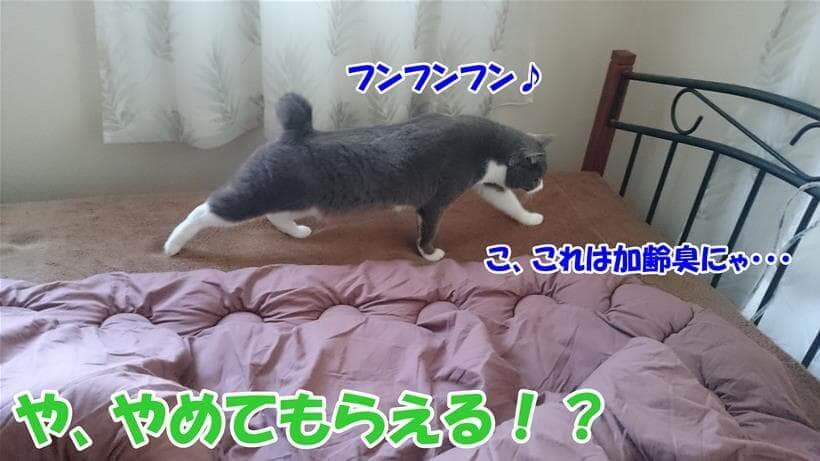 布団の匂いを嗅いで飼い主の加齢臭がすると言っている体の愛猫モコ