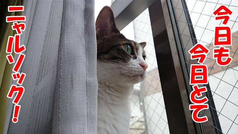 外を眺め監視(ニャルソック)するのは日課だと言っている体の愛猫ミミ