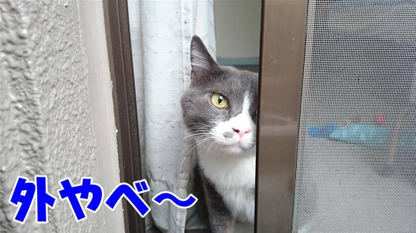 危険の多い外を覗いてやばいと感じている体の愛猫モコ