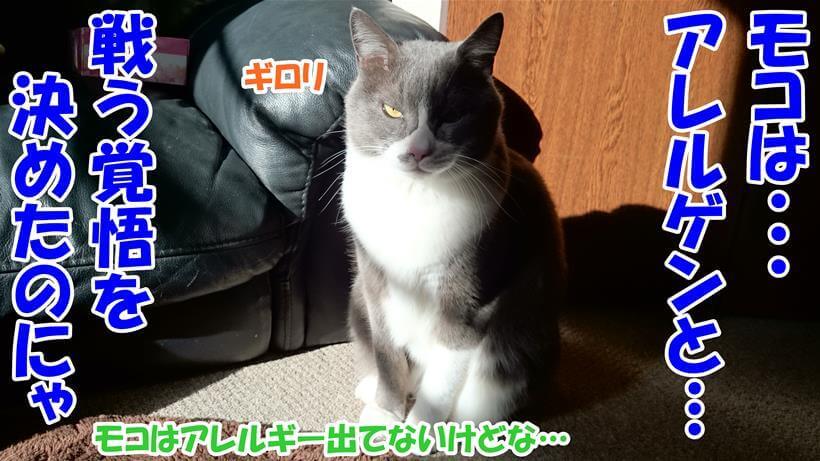 アレルギーでもないのにアレルゲンと戦う覚悟を決めた体の愛猫モコ
