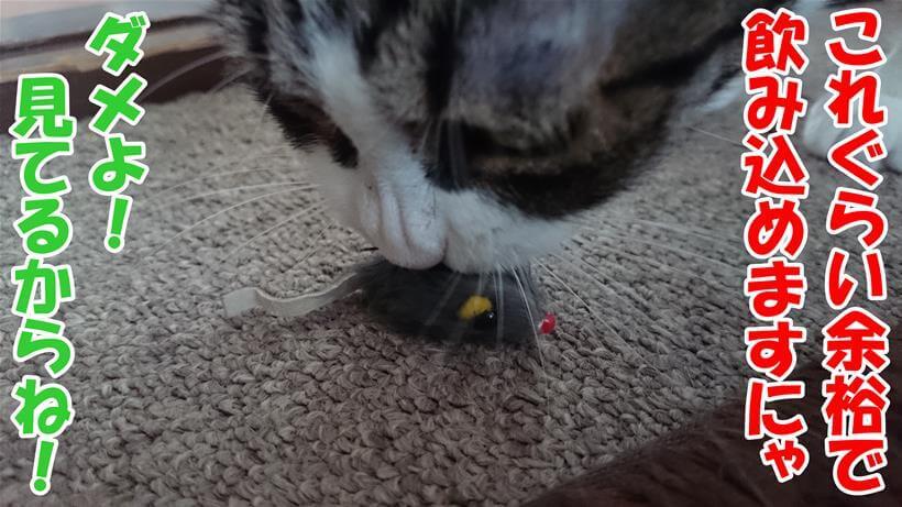 誤飲する事が多いと言われる小さな猫のおもちゃの匂いを嗅いでいる愛猫ミミ