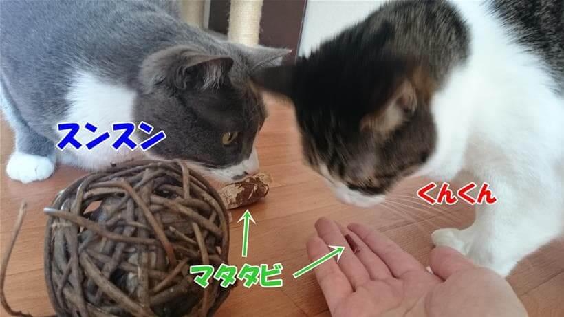 マタタビの匂いを嗅ぐ愛猫たち
