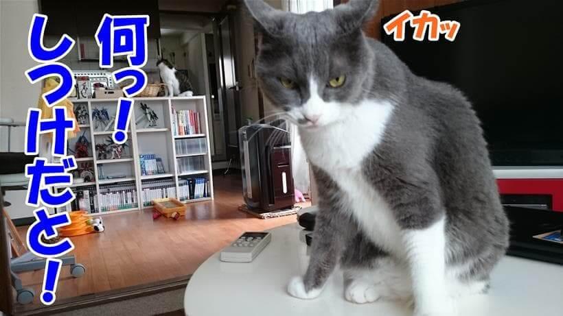 しつけられる事に対して警戒している体のイカ耳な愛猫モコ