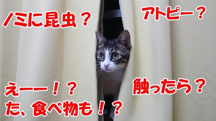 カーテンから顔を出し猫のアレルゲンに驚いている体の愛猫ミミ