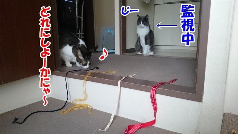 紐で遊ぼうとする愛猫ミミを監視している体の愛猫モコ
