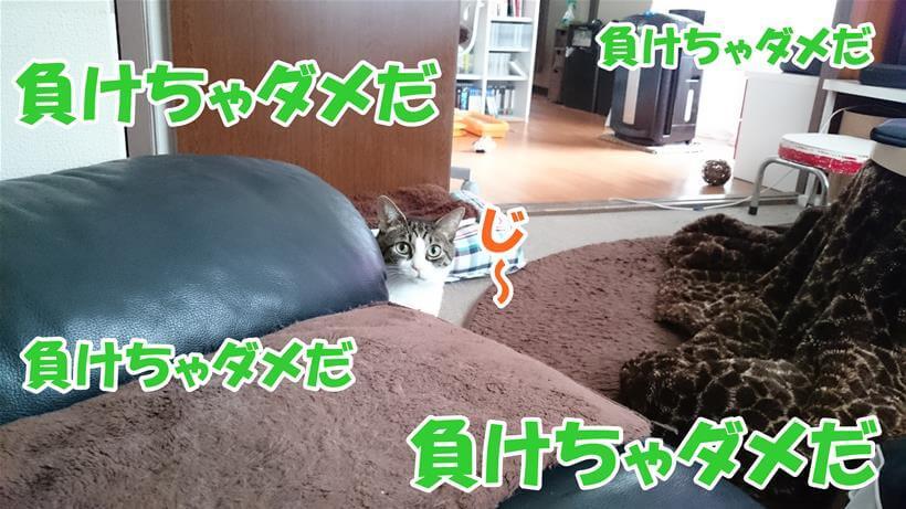 愛猫ミミに見つめられながらも構い過ぎないよう耐え続ける飼い主