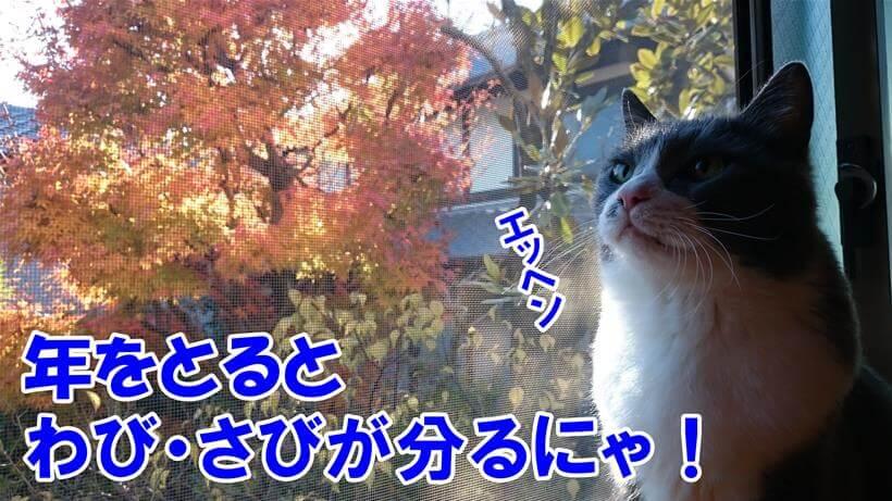 年をとるとわび・さびが分かると言っている体で外の紅葉を眺めている愛猫モコ