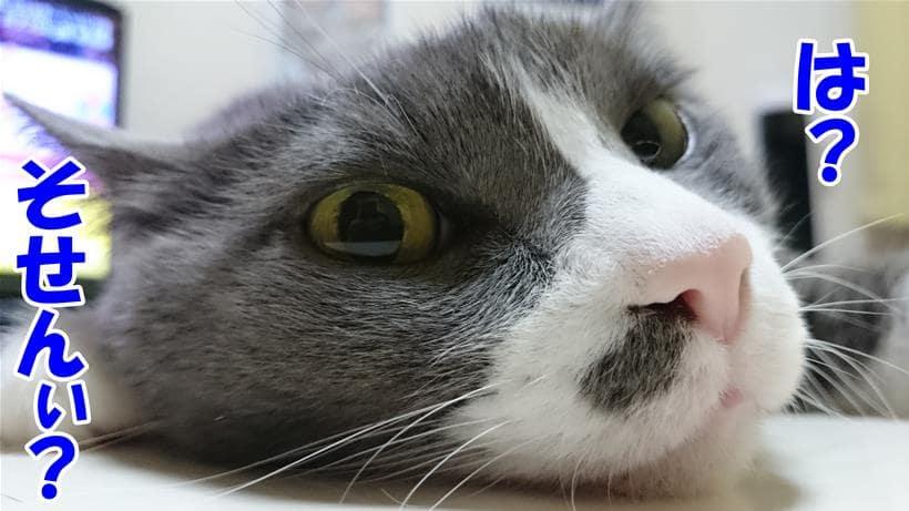 粗繊維が何なのか興味が無さそうに聞いている体の愛猫モコ