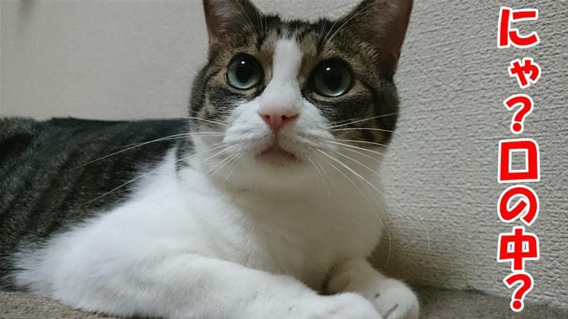 口の中と聞いてきょとんとする体の愛猫ミミ