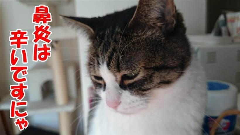 鼻炎は辛いと顔をしかめている体の愛猫ミミ