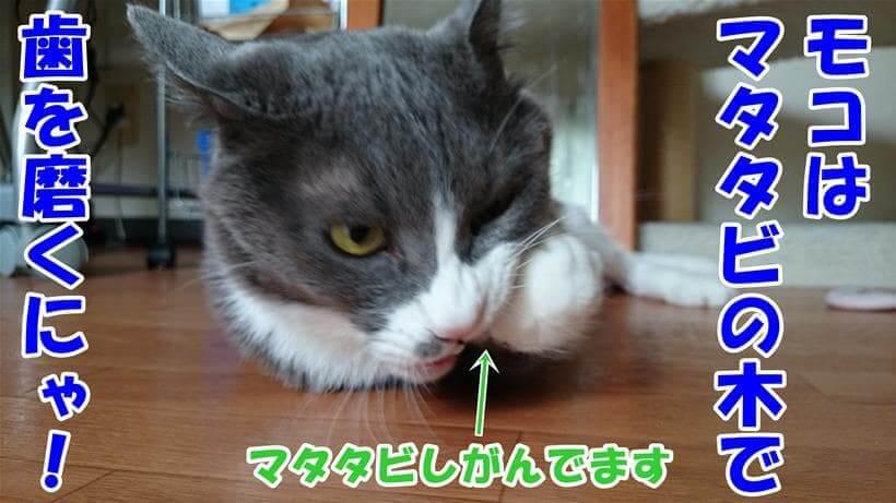 マタタビの木をしがんで歯磨きする愛猫モコ