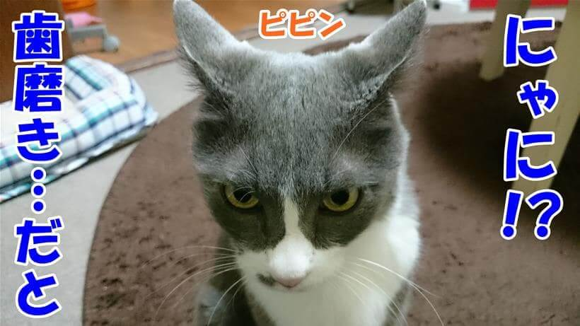 歯磨きと聞いてイカ耳状態になり警戒すしている体の愛猫モコ
