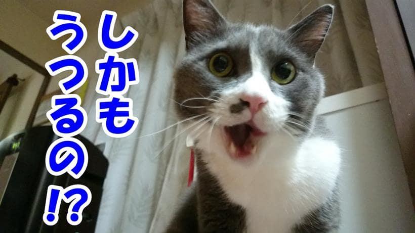 歯周病が感染するものだと聞いて驚く体の愛猫モコ