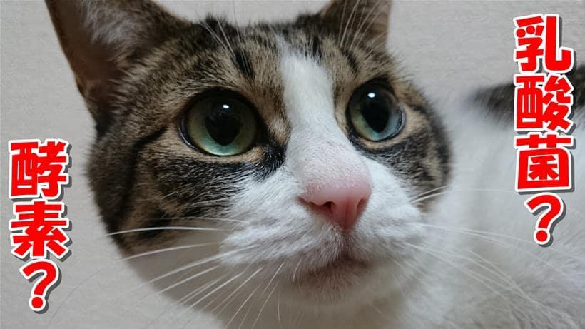 乳酸菌や酵素を理解していない体の表情をしている愛猫ミミ