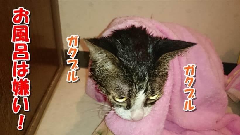 お風呂上がりにタオルに包まれ震えている愛猫ミミ