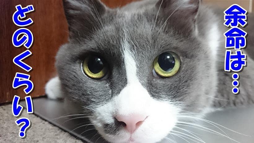 猫エイズの余命がどれぐらいか聞いている体の愛猫モコ