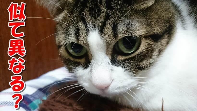 人のエイズと猫のエイズが似て異なると聞いた体の愛猫ミミ