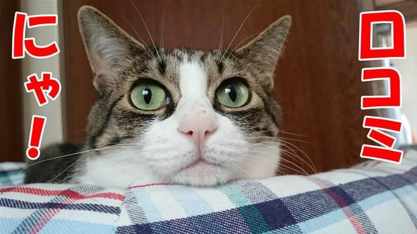 口コミの案内をしている体の高齢期10歳になる愛猫ミミ