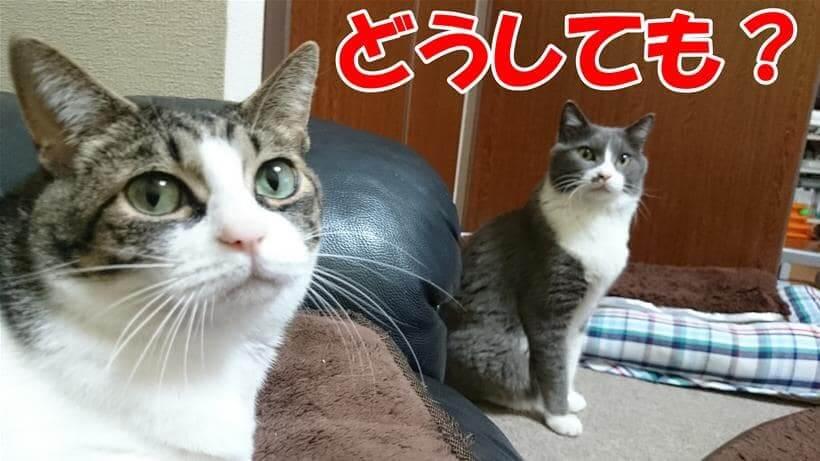 アロマをどうしても使いたいの?と飼い主を見つめる体の愛猫たち