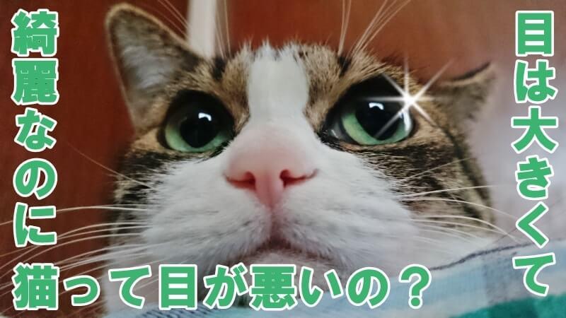 目が大きくて綺麗な愛猫ミミ