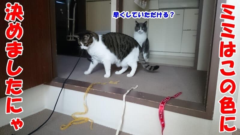好きな色の紐を選んでいる体の愛猫ミミ