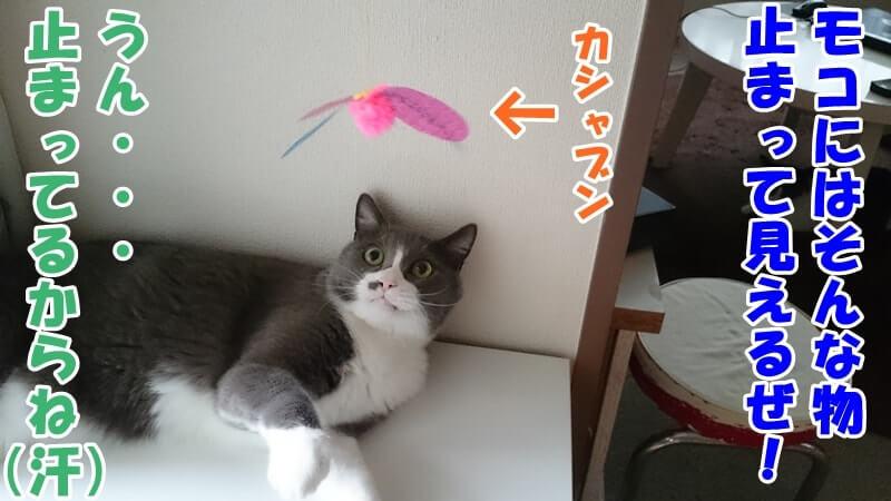 猫のおもちゃを狙う愛猫モコ