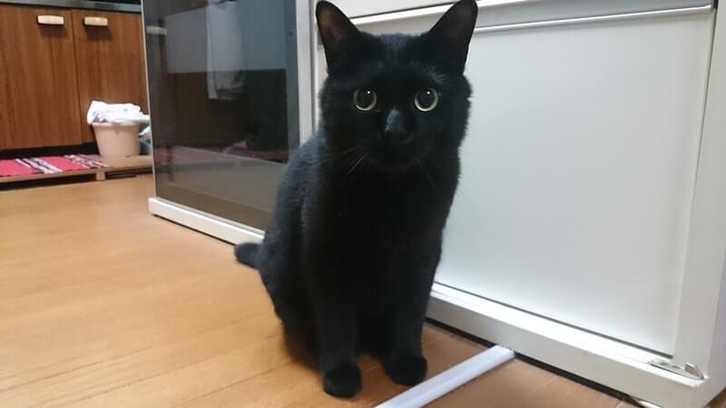 目を真ん丸にして座っている黒猫カイくん