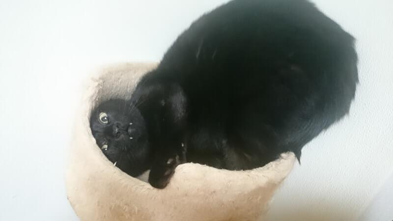 キャットタワーでおかしな動きをしている黒猫カイくん