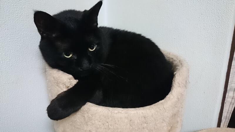 キャットタワーで寛ぐ実家の黒猫カイくん