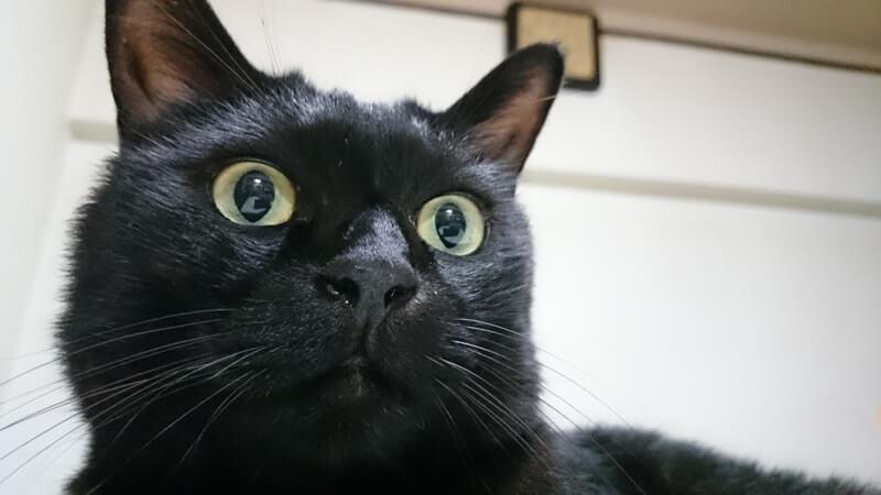 きょとんとした顔をしている実家の黒猫カイくん