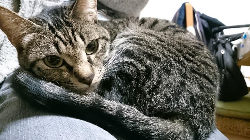 母の膝の上で寛ぐ実家のキジトラ猫ココちゃん