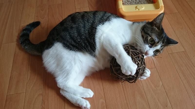 マタタビボールで遊ぶ愛猫ミミ