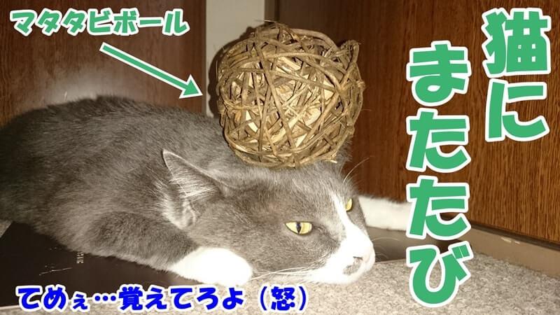 マタタビボールを頭に乗せた愛猫